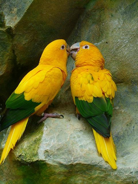 gold-parakeets-406805_640.jpg